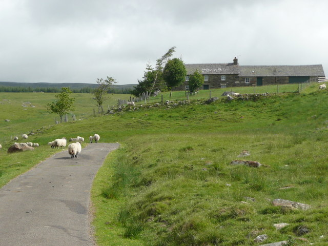 Sheep on the road below Crannach