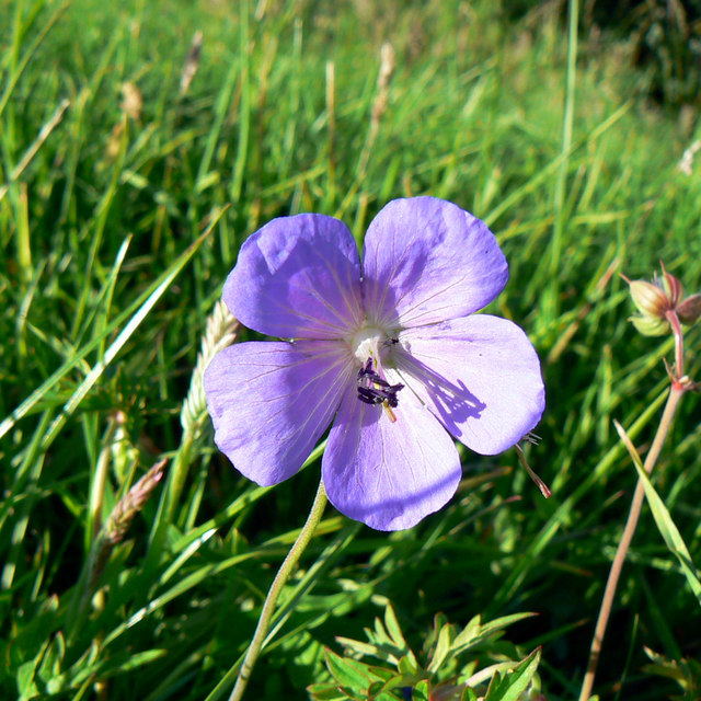 A flower at the Roman amphitheatre, Cirencester