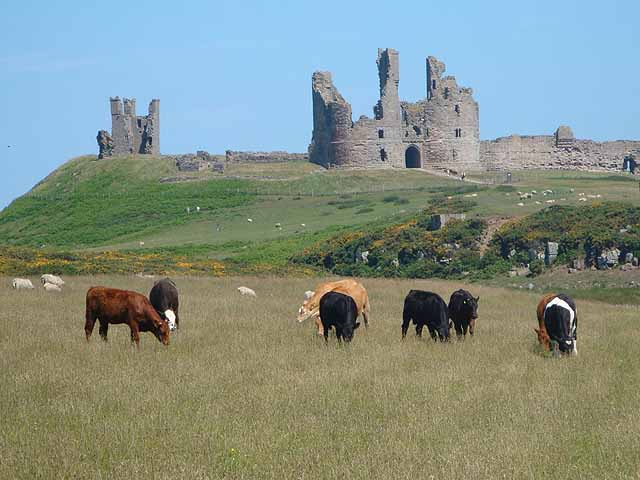 Cows grazing beneath Dunstanburgh Castle