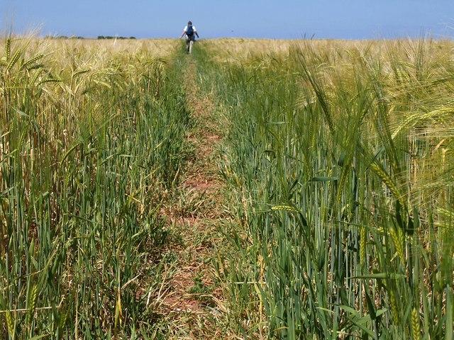 Going through the barley