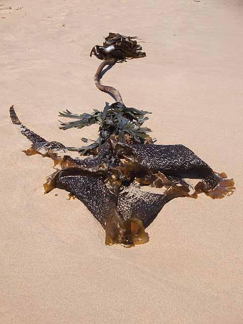 Seaweed at Embleton Bay