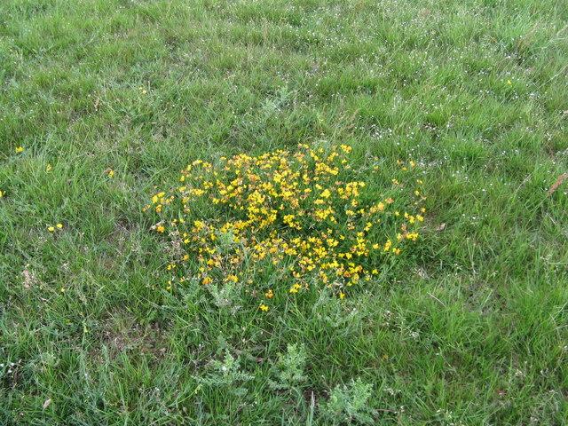 Birdsfoot trefoil in meadow south of Bentley