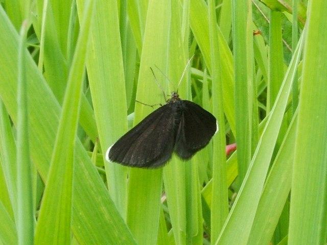 A moth: Chimney Sweeper (Odezia atrata)