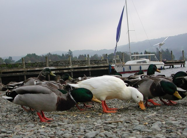 Coniston Pier with Ducks!