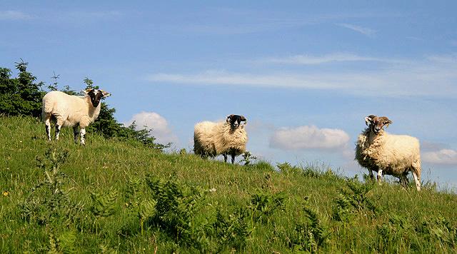 Sheep on Knock Hills