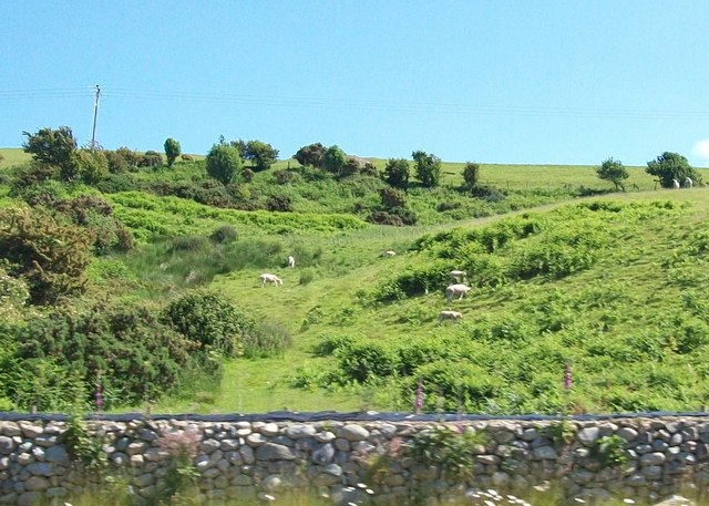 Sheep grazing above the A499 near Gyrn Goch