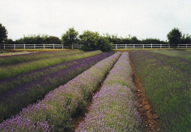 Lavender fields at Heacham, Norfolk