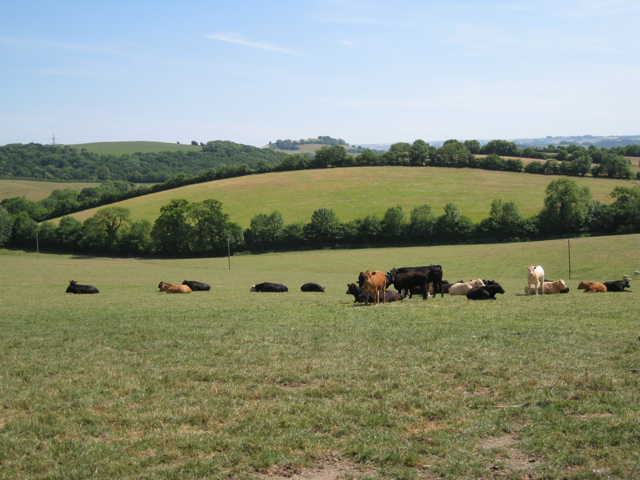 Mixed herd of cattle near Dipwell