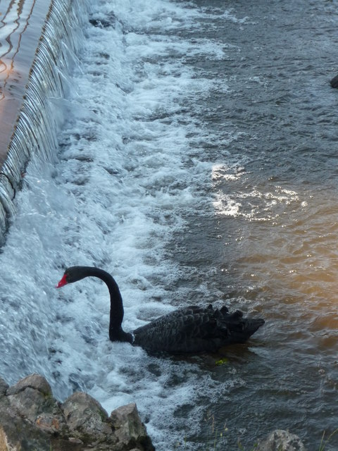 Dawlish : Dawlish Water & Australian Black Swan