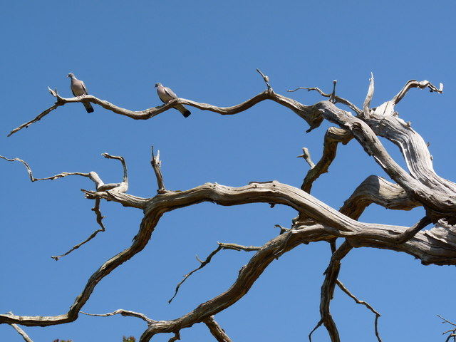 Two pigeons on a dead tree in Lobb