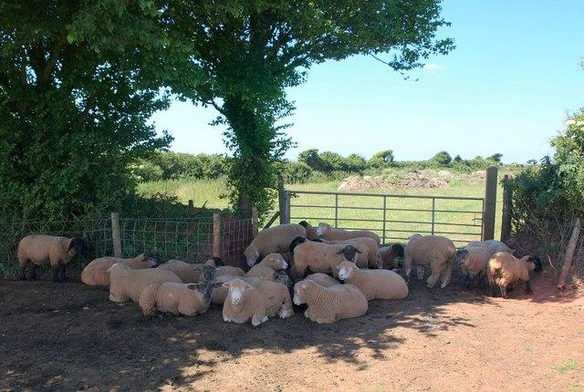 Sheep near North Bolberry