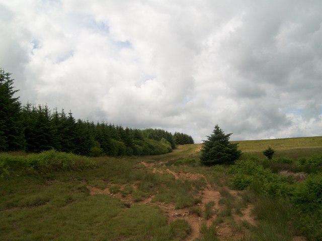 Escaped conifers!