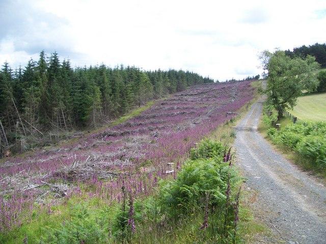 Foxgloves on felled area