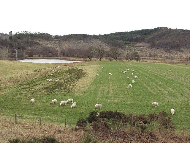 Sheep grazing, Invershin