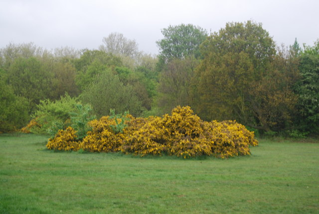 Gorse, Tooting Bec Common