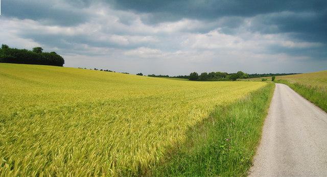 Wheat Field alongside Crows Camp Road