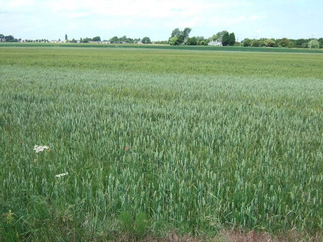 Wheat field off Murrow Lane