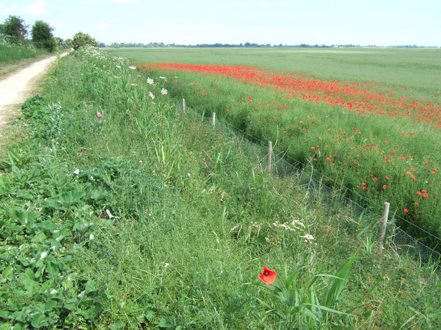 Poppies next to Rings End Nature Reserve