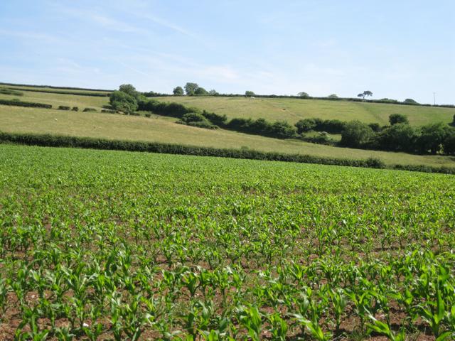 Grazing above maize