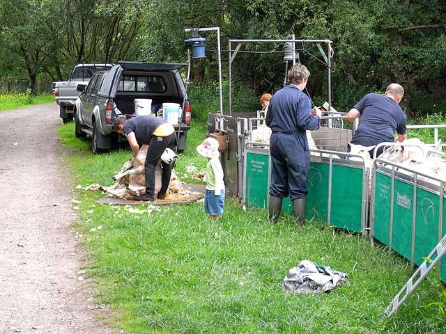 Sheep shearing at High Broom Hill