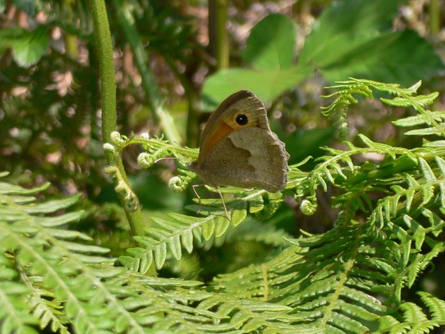 Meadow Brown butterfly by bridleway on St Martha's Hill