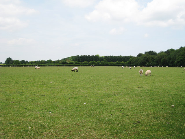Field of Sheep, Cheneys Farm