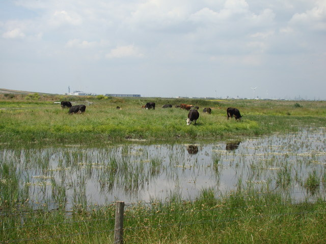 Cows grazing by the waterside