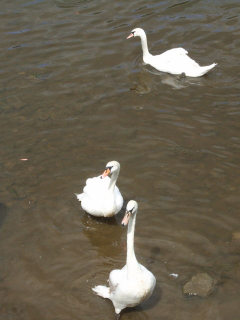 Swans in the Severn, Bewdley