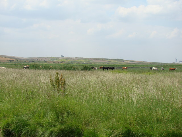 Cows and the hill on Cold Harbour Lane