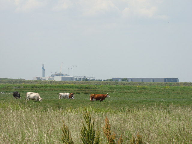 Cows and view of Tilda from Rainham Marshes Nature Reserve
