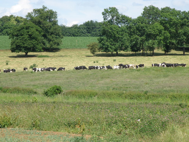 Dairy cattle by Red Hill
