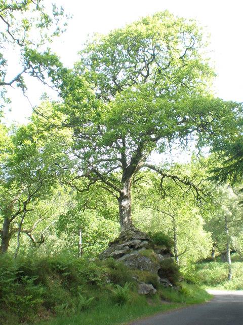 Oak Tree by Loch Katrine near Druim Beag