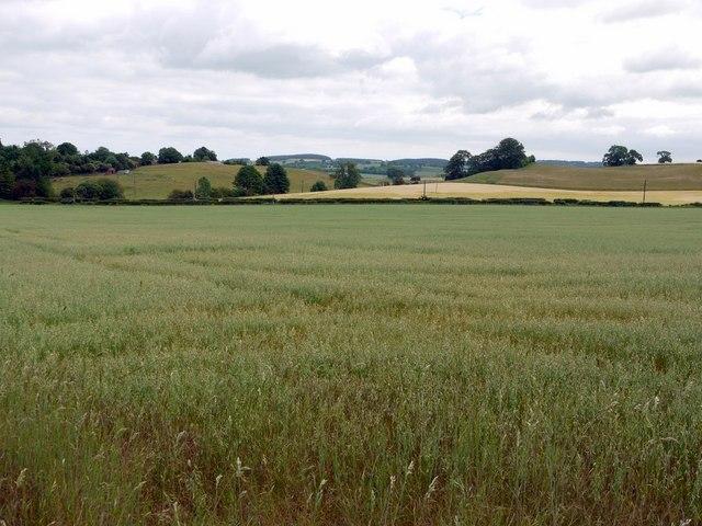 Field of oats west of A697