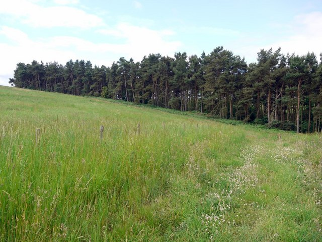 Scots Pine plantation of Crookham Dean