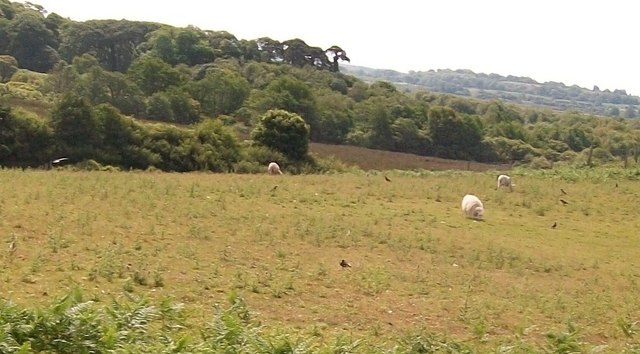 Sheep and crows on pastures alongside Lon Ffridd lane