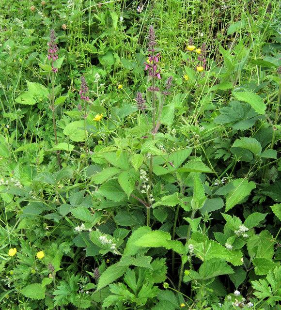 Hedge Woundwort (Stachys sylvatica)