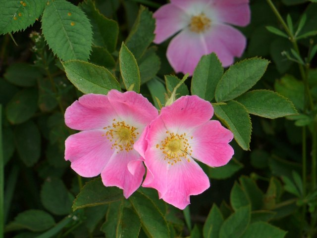 Wild roses dominate the hedgerows