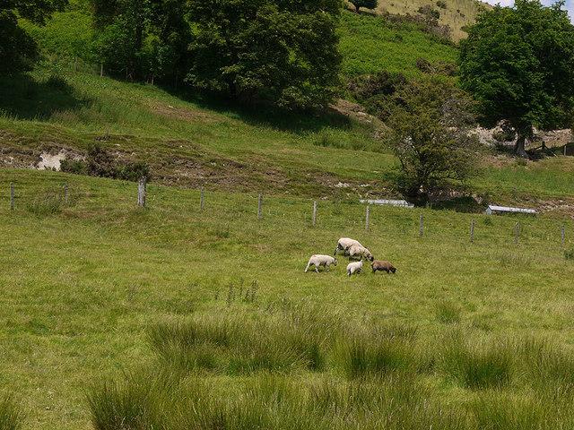 Grazing near Tan-y-llwyn