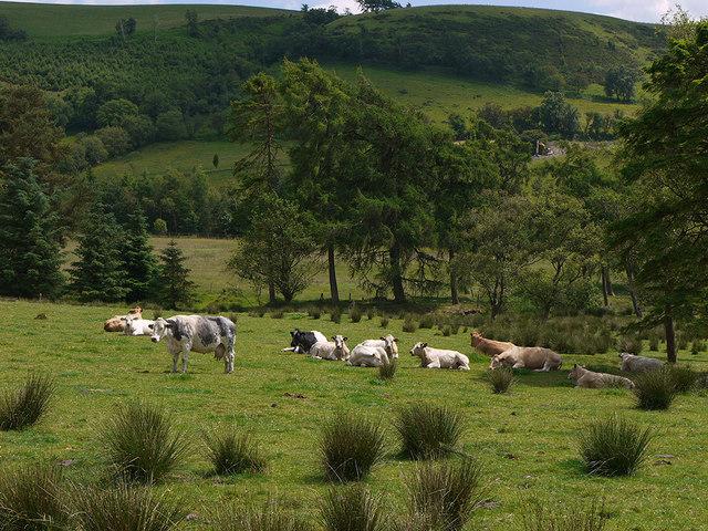Cattle grazing neat Tan-y-llwyn
