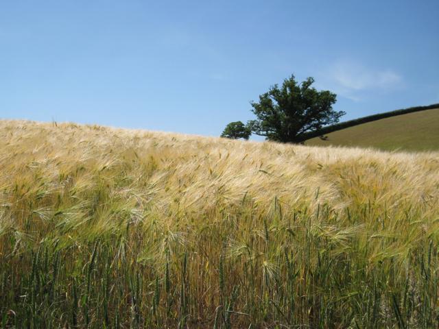 Barley near Venn