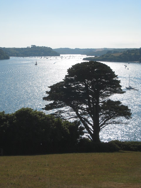 Cupressus macrocarpa on the bank of the Helford River