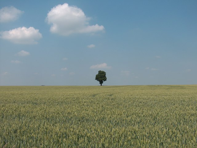 Tree in a cornfield near Orton-on-the-Hill