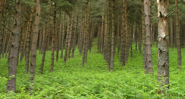 Conifer Plantation with Bracken