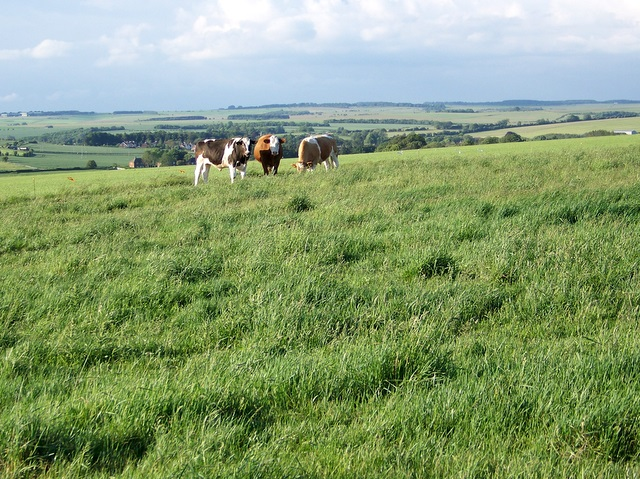 Cattle near Netheravon