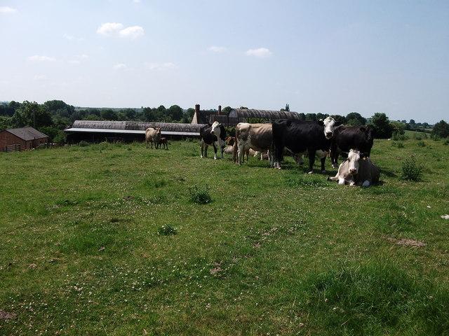Cows in field next to Brookhampton farm