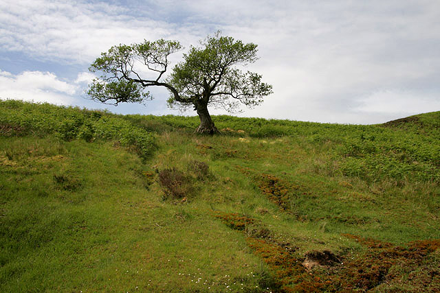 A tree on Cooms Fell