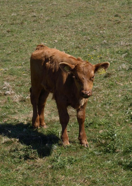 Calf near Middle Soar