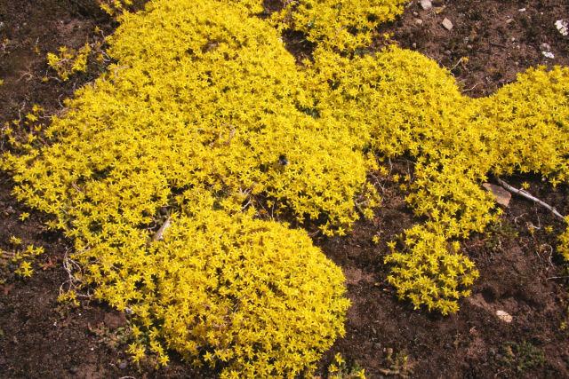 Biting stonecrop (Sedum acre)