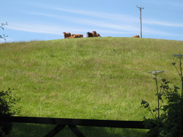 Cattle on a knoll