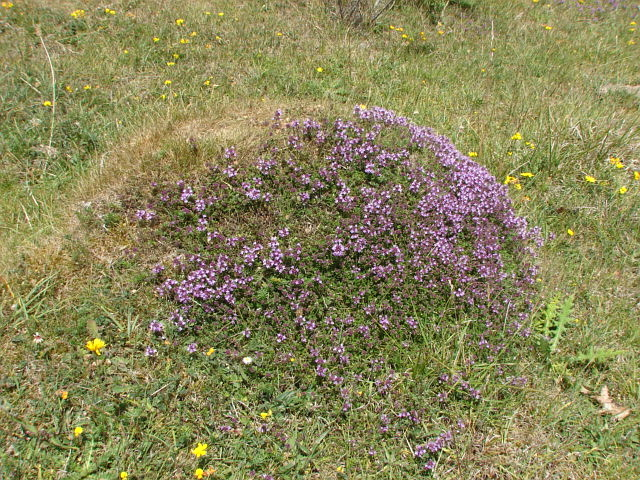 Wild Thyme, Collard Hill